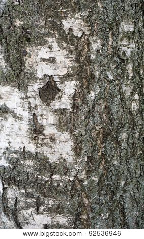 Texture Of Old Birch Tree Bark With Green Moss