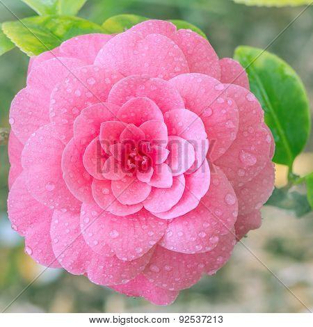 Flower of japanese camellia.