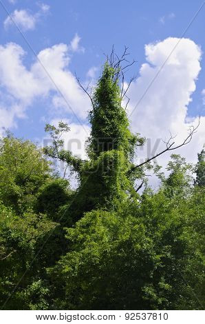 Ivy Around A Dead Tree