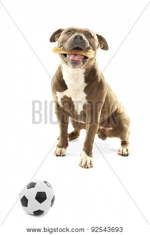 American Staffordshire Terrier with bone isolated on white