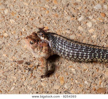 Gartner Snake Swallowing Toad