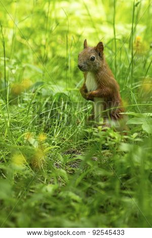 Squirrel. Red Squirrel (Sciurus vulgaris) on the green grass.