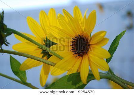 Zweibettzimmer-Sonnenblumen