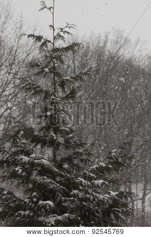 Wintery scene with a pine tree in the woods and falling snow.