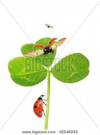 Green clover leaf with ladybirds, isolated on white