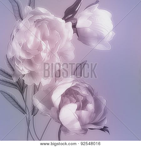 art vintage monochrome watercolor blurred floral pattern with pink and white peonies isolated on lilac background with space for text