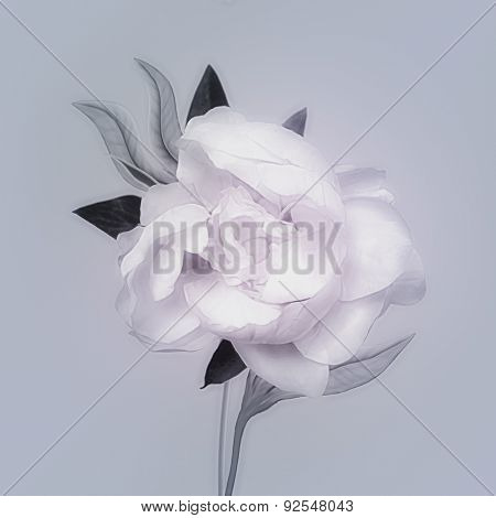 art monochrome vintage watercolor blurred floral pattern with white peony isolated on light blue background with space for text