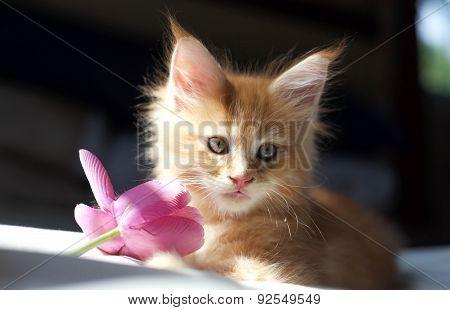 Littel Red Maine Coon Kitten