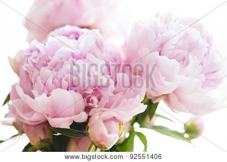 beautiful pink peony flowers, on white background