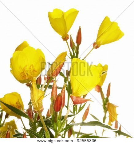 Oenothera glazioviana flower isolated on white, vector