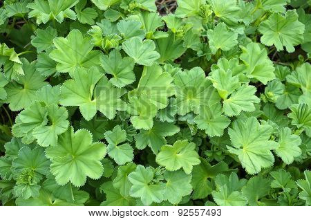 Lady's Mantle or Alchemilla mollis plants