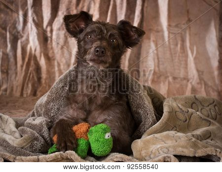 dog under a blanket with paw on stuffed toy - mixed breed rescue