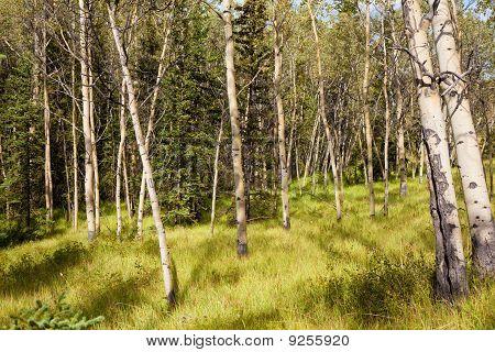 Noordelijke Aspen Forest