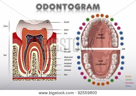 Odontogram. Tooth Diagram