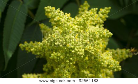 Yellow and Green Sumac Tree Bloom Cluster.