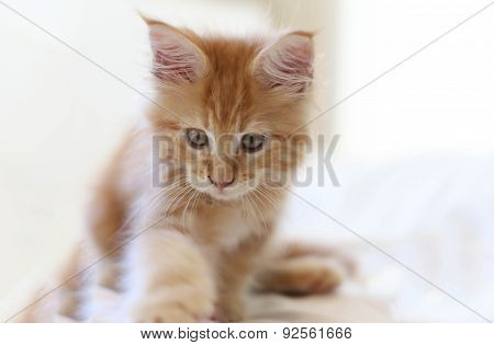 Cat Maine Coon Kitten Walking