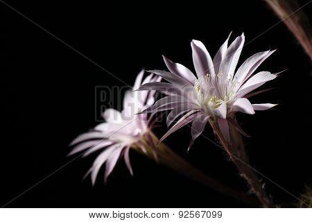Lily Cactus, Echinopsis Flower On Black Background