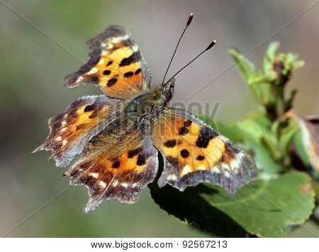 Green Comma Butterfly on a Leaf