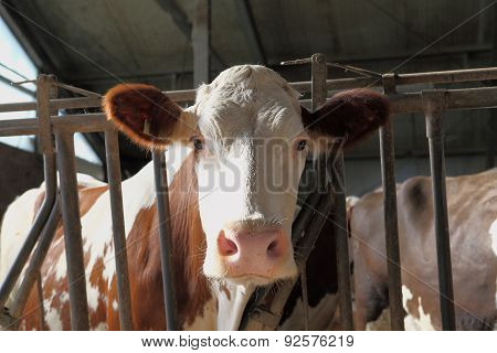 head of cow in his barn, farm