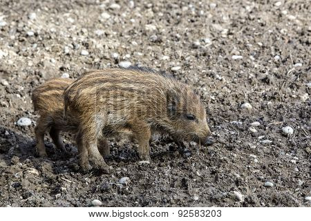 Wild Young Piglets On A Field