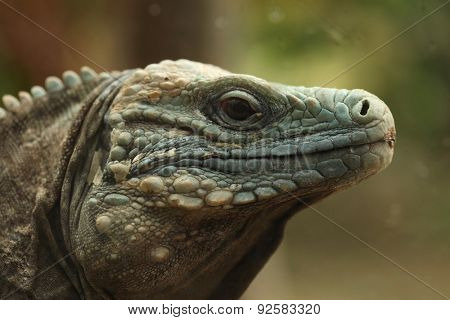 Blue iguana (Cyclura lewisi), also known as the Grand Cayman iguana.
