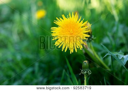 Yellow Flower Of Dandelion Against A Grass