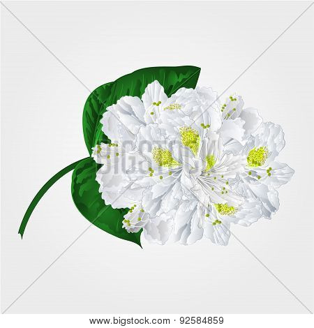 White Rhododendron Twig Vector