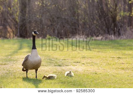 Backlit Canadian Goose With Two Baby Geese
