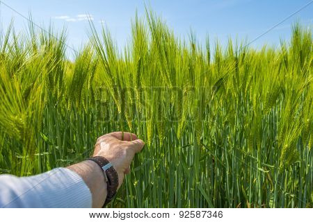 Plucking ears of corn in spring