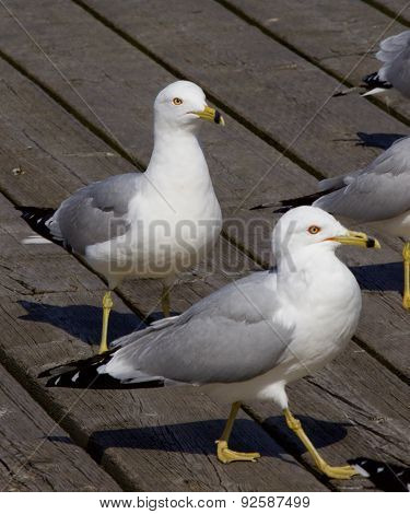 The Gulls Are Waiting In A Queue