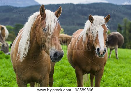 Horses In An Alpine Meadow, Italy