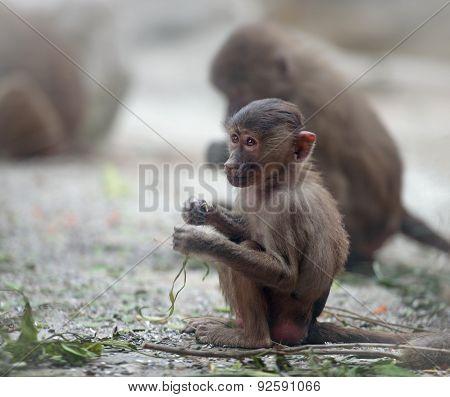 Baby Hamadryas Baboon