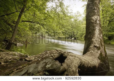 American sycamore grows at the edge of a creek on a hot summer day