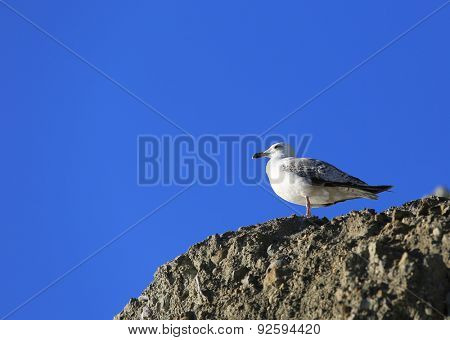 Seagull on stone against blue sky background