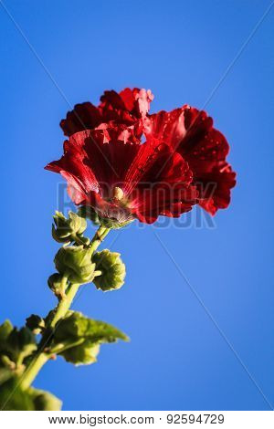 Portrait of Hollyhock Flower
