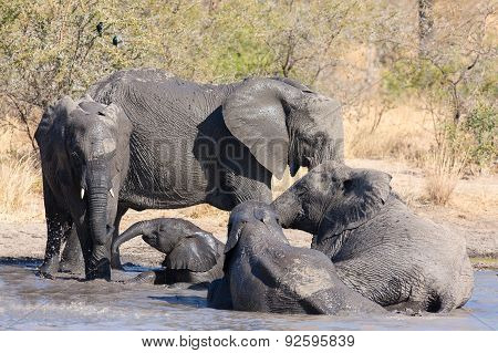Elephant Herd Playing In Muddy Water With Lot Of Fun