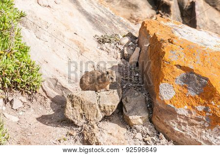 Juvenile Rock Hyrax