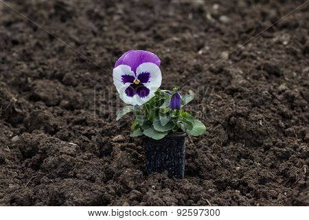 Pansy Flower Pot On Ground