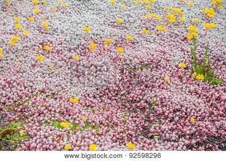 Groundcover With Yellow Flowers