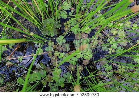 Marsilea quadrifolia (Four-leaved water clover)