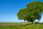 image of row trees  - Double row of trees in sunlight along a field in spring - JPG