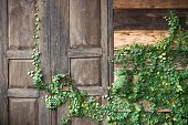 image of creeper  - Green creeper plant growing on wooden wall and a door of a house - JPG