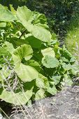 picture of butterbur  - Group of common butterburs  - JPG