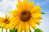 picture of sunflower  - sunflower against the blue sky yellow sunflower - JPG