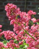 stock photo of edible  - The beautiful pink flowers of Centranthus ruber commonly known as Red Valerian. The plant is native of Mediterranean regions and has edible roots.