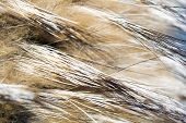 stock photo of raccoon  - Close up photo of brown raccoon fur as background - JPG