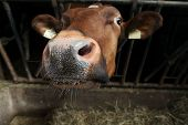 foto of cow head  - head of cow eating the feed - JPG