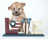 pic of poo  - Cute little Yorkie Poo puppy with a love sign with stars and stripes representing the American flag on a white background - JPG
