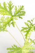 picture of mosquito repellent  - All natural citronella plant mosquito repellant leaves  - JPG