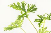 image of mosquito repellent  - All natural citronella plant mosquito repellant leaves - JPG